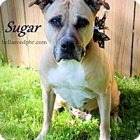 Adopt A Pet :: Sugar - Southampton, PA