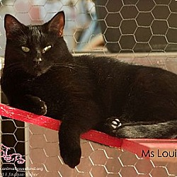 Photo 1 - Domestic Shorthair Cat for adoption in St Louis, Missouri - Ms. Louie