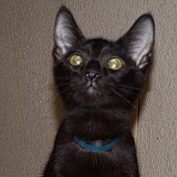 Photo 3 - Domestic Shorthair Cat for adoption in Scottsdale, Arizona - Miss Bliss-edob 4/24/12