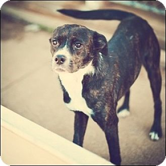 Boston Terrier Mix Dog for adoption in Shreveport, Louisiana - Ladybug
