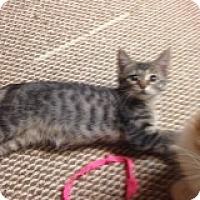 Adopt A Pet :: Ash-COMING SOON! - Bridgeton, MO