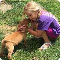 Adopt A Pet :: Sea Salt (The Caramel Crew) - Frederick, MD