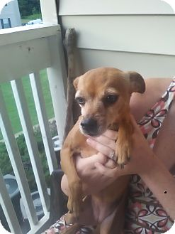 Miniature Pinscher/Chihuahua Mix Dog for adoption in Simpsonville, South Carolina - Princess-Referral
