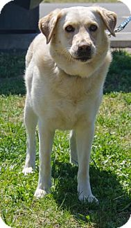 Labrador Retriever Mix Dog for adoption in Midlothian, Virginia - Cooper II