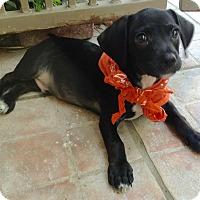 Adopt A Pet :: O'Henry - Santa Ana, CA