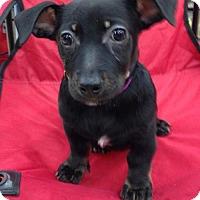 Adopt A Pet :: Pebbles - Royal Palm Beach, FL