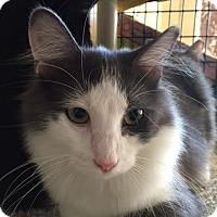 Adopt A Pet :: Curious Tom - Chicago, IL