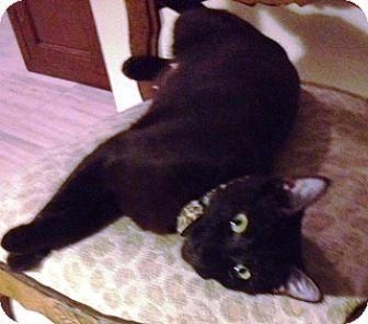 Oriental Cat for adoption in Orange, California - Monica
