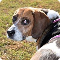 Adopt A Pet :: 1610-1955 Patsy - Virginia Beach, VA