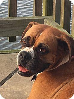 Boxer Dog for adoption in Austin, Texas - Argentina
