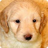 Adopt A Pet :: ALLEN(OUR MINI-GOLDENDOODLE!! - Wakefield, RI