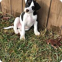 Adopt A Pet :: Ellis - Springfield, MO