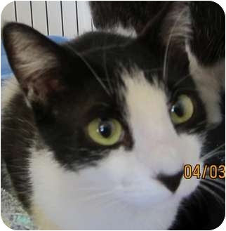 Domestic Shorthair Cat for adoption in Bunnell, Florida - Angelina