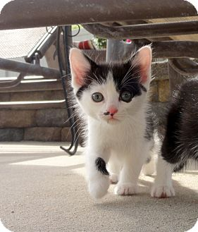 Domestic Shorthair Kitten for adoption in Barnegat, New Jersey - Oreo