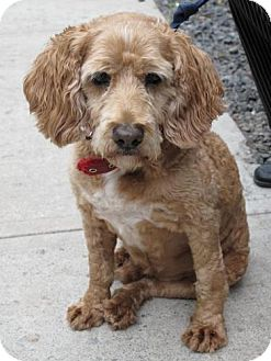 Cocker Spaniel Mix Dog for adoption in bloomfield, New Jersey - Billy