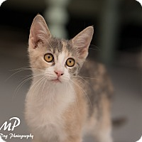 Adopt A Pet :: Caramel - Fountain Hills, AZ