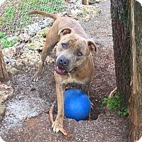 Adopt A Pet :: Tater - nashville, TN