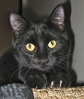Domestic Shorthair Cat for adoption in Capshaw, Alabama - Ditto