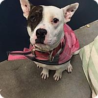 Adopt A Pet :: Elsa - Dallas, TX