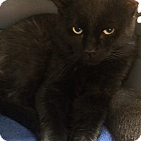 Domestic Shorthair Cat for adoption in Byron Center, Michigan - Sinbad