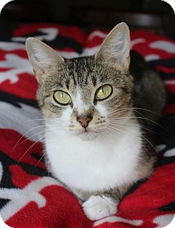 Domestic Shorthair Cat for adoption in Knoxville, Tennessee - Bridget