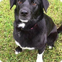 Labrador Retriever Mix Dog for adoption in Austin, Texas - Hailee