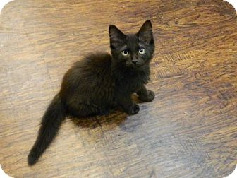 Domestic Mediumhair Kitten for adoption in The Colony, Texas - Baxter