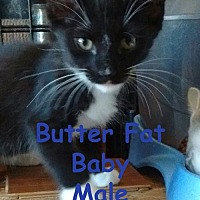 Adopt A Pet :: Butter Fat Baby - Visalia, CA