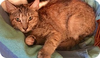Calico Cat for adoption in Brooklyn, New York - Scarlett