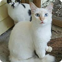 Domestic Longhair Cat for adoption in Virginia Beach, Virginia - Serena