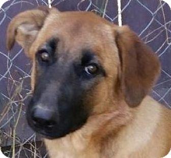 Anatolian Shepherd Mix Puppy for adoption in Lexington, Kentucky - Javelina