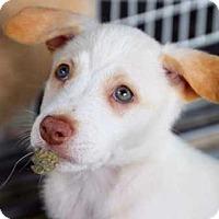 Adopt A Pet :: Ash - Coopersburg, PA