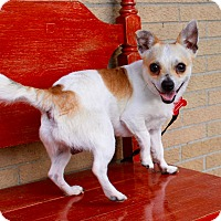Chihuahua Dog for adoption in Munster, Indiana - Frankie