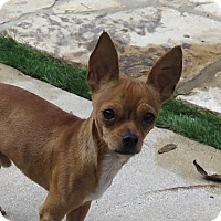 Chihuahua Dog for adoption in San Antonio, Texas - Tex