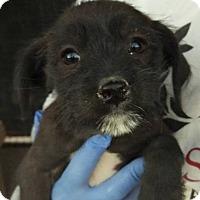 Adopt A Pet :: Coco's Conan - Las Vegas, NV