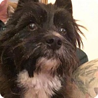 Cairn Terrier/Scottie, Scottish Terrier Mix Dog for adoption in Westminster, Maryland - Carney