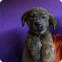 Adopt A Pet :: Dew - Oviedo, FL