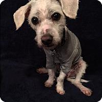 """Adopt A Pet :: Leonardo """"Leo"""" - Santa Clara, CA"""