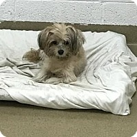 Adopt A Pet :: Lola Star - Miami, FL