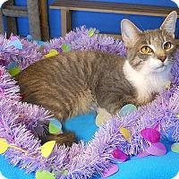 Bengal Kitten for adoption in Glendale, Arizona - Calvin