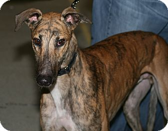 "Greyhound Dog for adoption in Smyrna, Tennessee - TRS Robster ""Rob"""