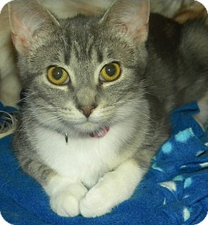 Domestic Shorthair Cat for adoption in Green Bay, Wisconsin - Jada