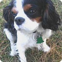 Adopt A Pet :: Shooter - Westport, CT