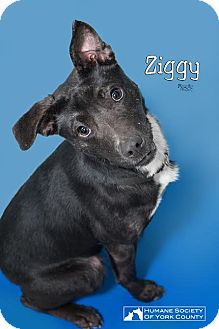 Terrier (Unknown Type, Medium) Dog for adoption in Fort Mill, South Carolina - Ziggy