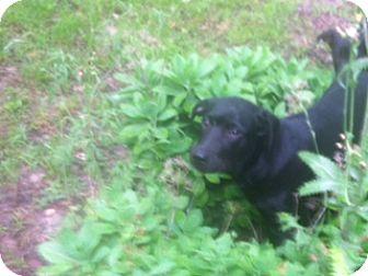 Labrador Retriever/Rottweiler Mix Puppy for adoption in Emory, Texas - Monty