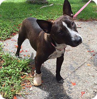 Labrador Retriever Mix Dog for adoption in Key Biscayne, Florida - Chavito