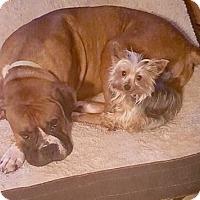 Adopt A Pet :: The Great Gatsby - Oswego, IL