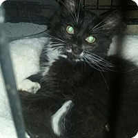 Domestic Mediumhair Kitten for adoption in Taylor, Michigan - Tennessee