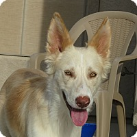 Adopt A Pet :: Yoshi - Apache Junction, AZ