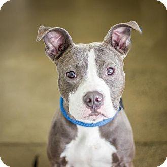 American Pit Bull Terrier Dog for adoption in Fulton, Missouri - Titus-California